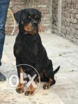 Rottweiler Female For sale