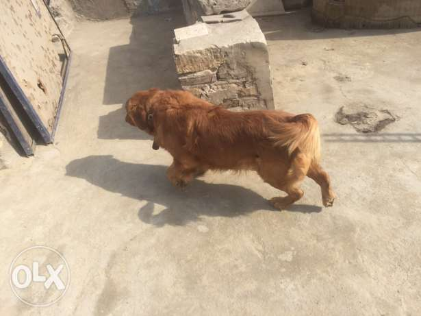 golden retriever for only mating , للزواج فقط الساحل -  1