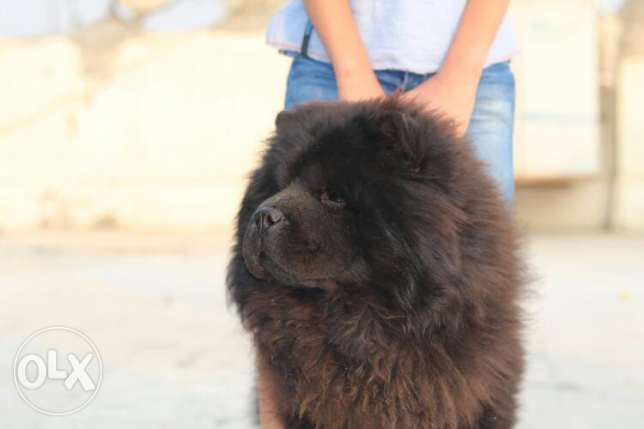 Chow Chow For marriage (للزواج فقط )