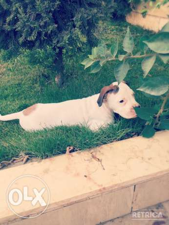 For Sale Beautiful Pure White Boxer Puppie مصر الجديدة -  7