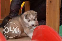 Husky puppies for sale :)