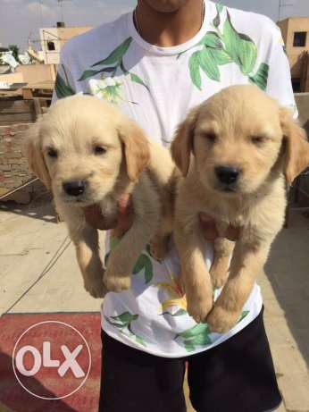 dogs for sale golden 3000 price abohom champion