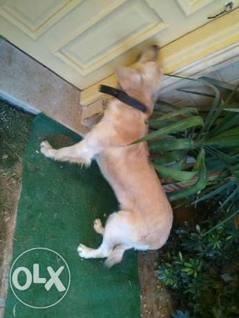 Golden Retriever Male 12 months old القاهرة الجديدة -  7
