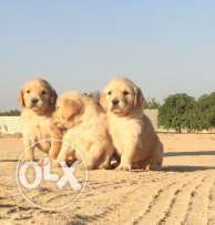 available golden pupps