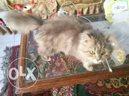 Gray beautiful and friendly young shirazi cat