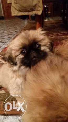 female Pekingese puppy شيراتون -  3