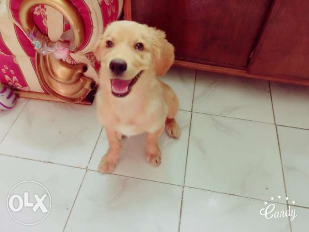 golden retriever جولدن ريتريفر بيور pure 6 أكتوبر -  6