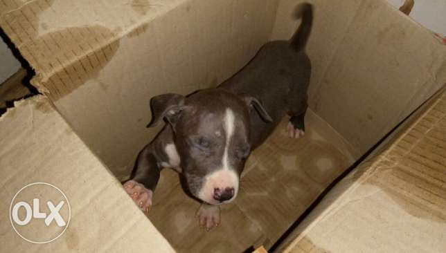 Pitbull blue puppy 44 days