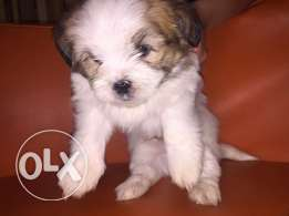 pickenges puppies for sale