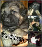 G. S. D puppies pure for sale
