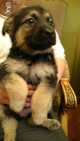 4 femal german shepard puppies excellent breed one month old
