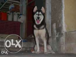 Female hasky black