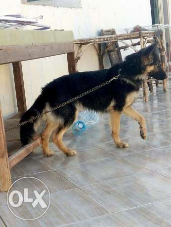 German shepherd شرم الشيخ -  3