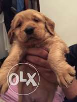 golden puppy for sale