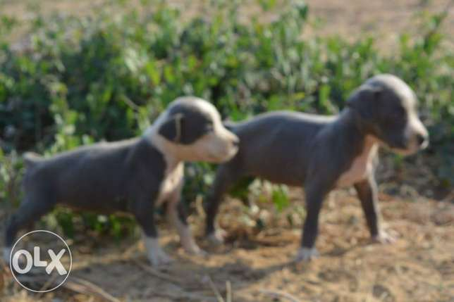 Pitball puppies for sale مدينتي -  3