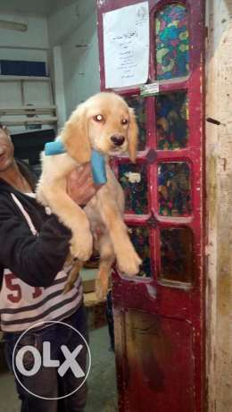Golden puppy ترسا -  1