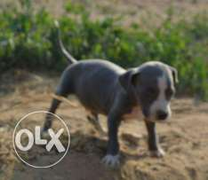 Pitball puppies for sale