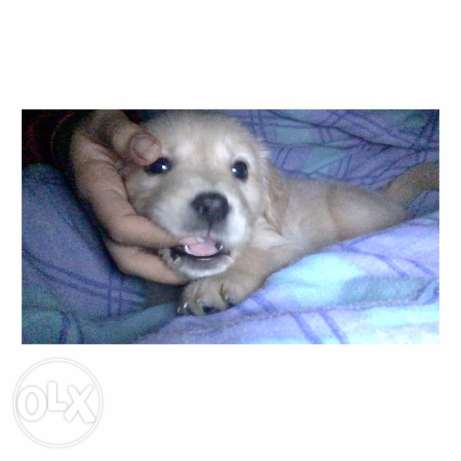 golden retrievers puppies for sale الإسكندرية -  2