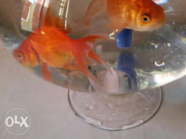 4 fishes two of them are orange and the other donno which type xD