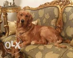 Golden retriever male champion blood line for sale in Alexandria