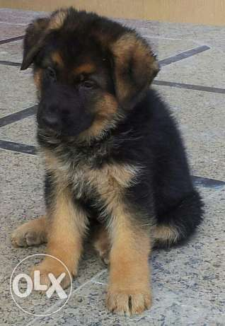 German shepherd champion bloodline التجمع الخامس -  1