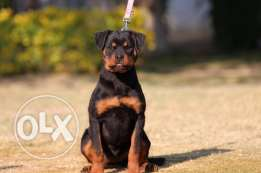 rottwiller for sale