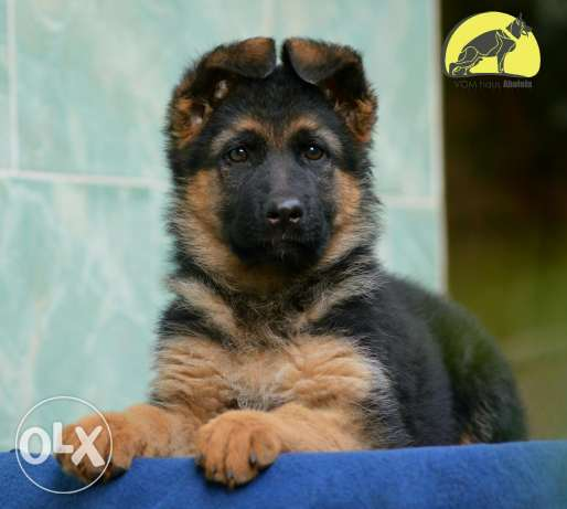 German shepherd female مدينة نصر -  2