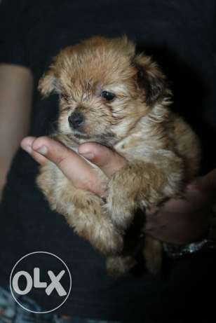 For sale female gold yorkshire