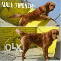 Male and famel golden for sell