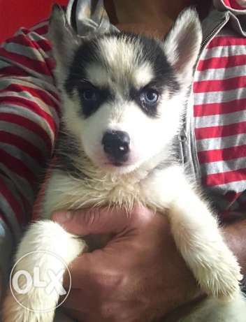 Husky puppies for great prices مدينة نصر -  2