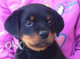 Rottweiler puppies with Pedigree and Microship
