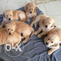 Golden retriever puppies imported father