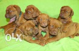 Imported french mastiff puppies