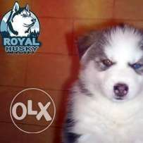 Pure Siberian Husky puppies for sale