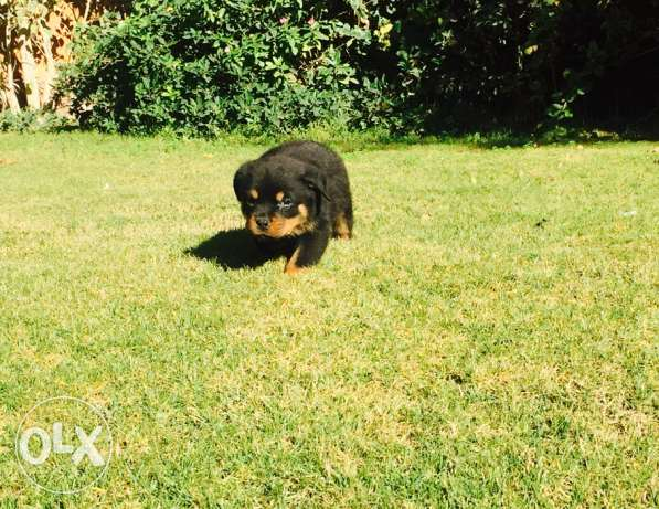 Rottweiler puppies for sale حى الجيزة -  3