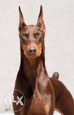 """Red Doberman """"female"""" is for sale or exchange with husky"""