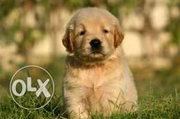 Now available Golden Retriever Puppies Ready for New Homes