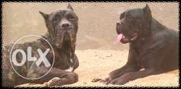 Cane Corso Imported Champions, Male 3 yrs, female 2 yrs, with pedigree
