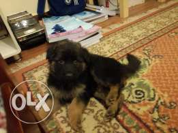Top longhair german shepherd puppy