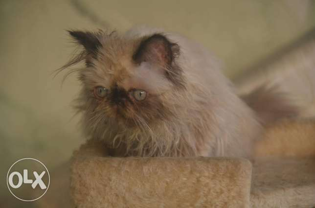 Himalayan cats full pure pickey face مدينة نصر -  3