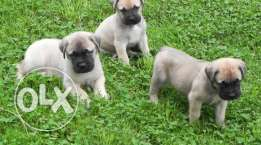 puppies bull mastiff FOR SALE