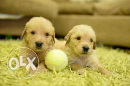 Golden Retriever puppies for sale pure breed