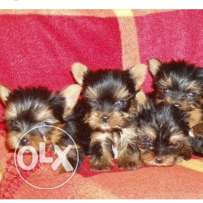 Mini Yorkshire puppies for sale imported with pedigree
