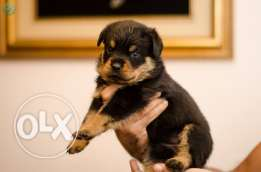 Rottweiler.. imported parents