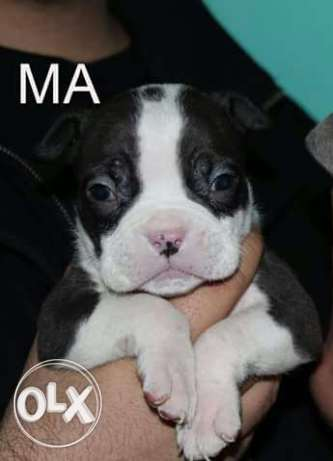 for sale the best bully pup مدينة نصر -  3