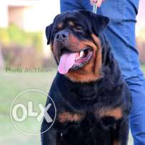 Supper rott puppies dark colours wide bones .. Imported parents .. Fo