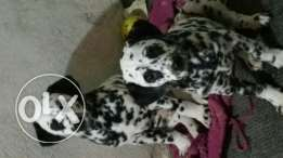 Puppies Dulmmision purely for Sale