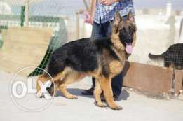 Male 10 month for sale