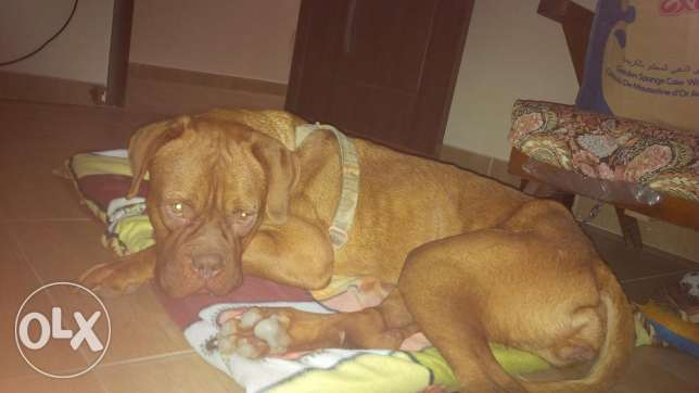 french mastiff for sale وسط القاهرة -  3