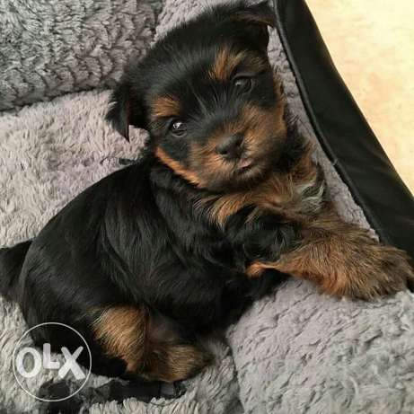Yorkshire mini puppies imported pure parents with a perfect price